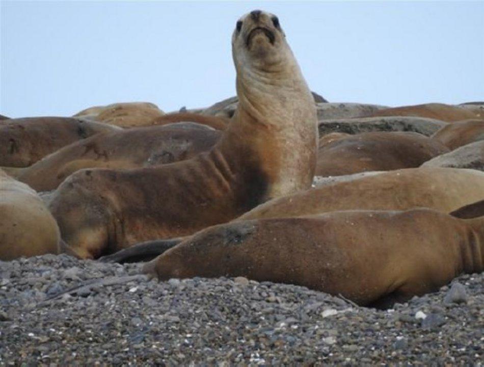 """El relevamiento en el sector permitió descubrir una colonia de lobos marinos. """"Hay cerca de 400 ejemplares"""", explicó el biólogo Javier Tolosano."""