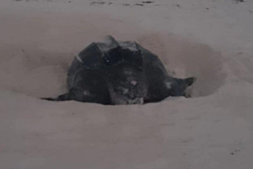 La tortuga laúd de 2,15 metros de largo y 1,4 de ancho, depositó 112 huevos frente a la playa del hotel Grand Oasis, en la zona hotelera de Cancún.